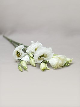 Doves: Single White Lisianthus Stem