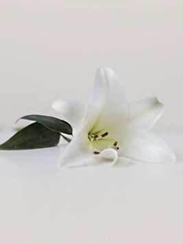 Doves: White Single St. Joseph Lily Stem