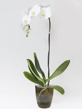 Plants: Orchid in White
